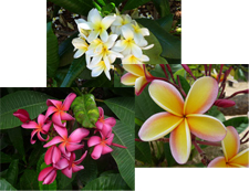 notecards, plumeria combo pack